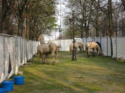 Troupeau de chevaux argentins dans Paris